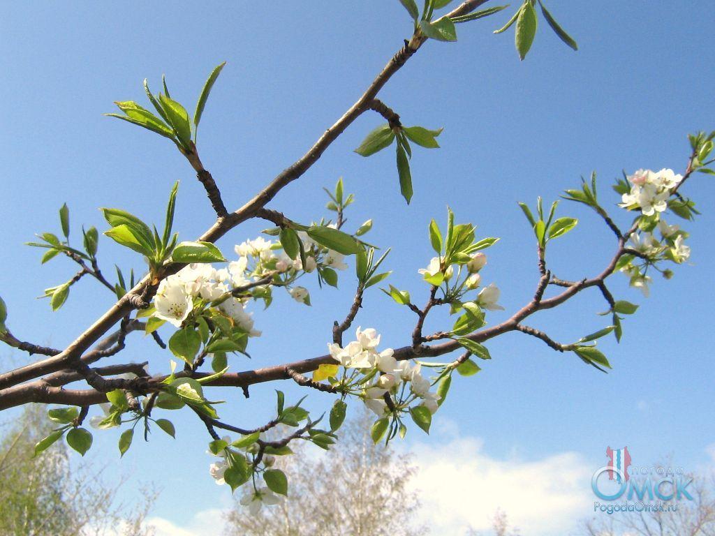 Цветы яблони ягодной