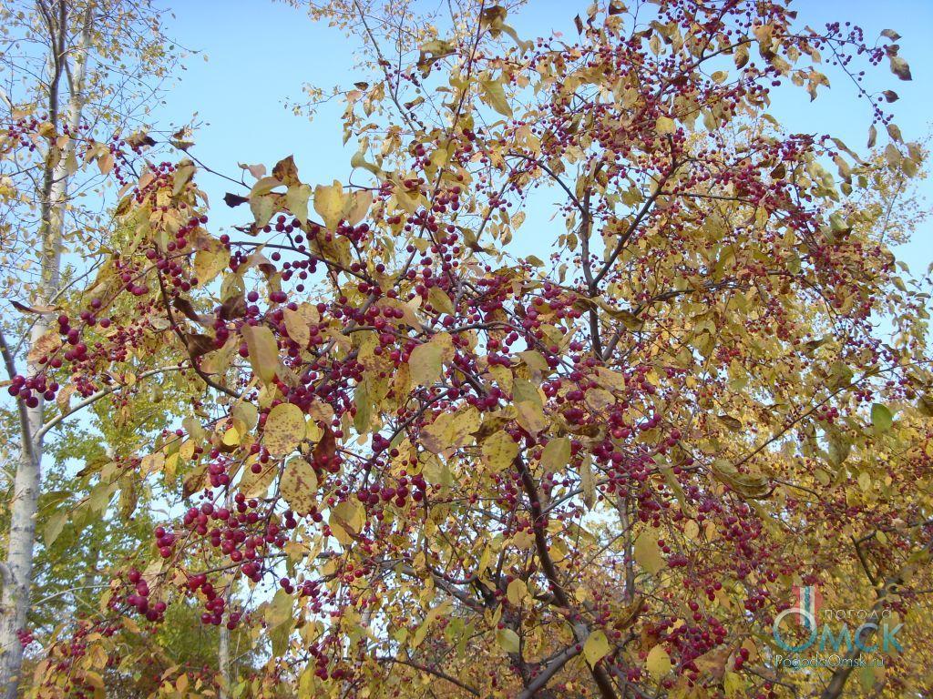Яблоня ягодная осенью