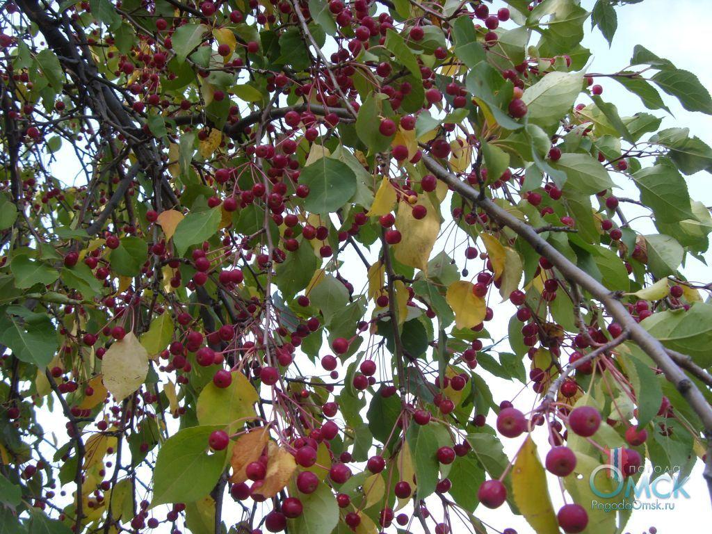 Ветви яблони ягодной