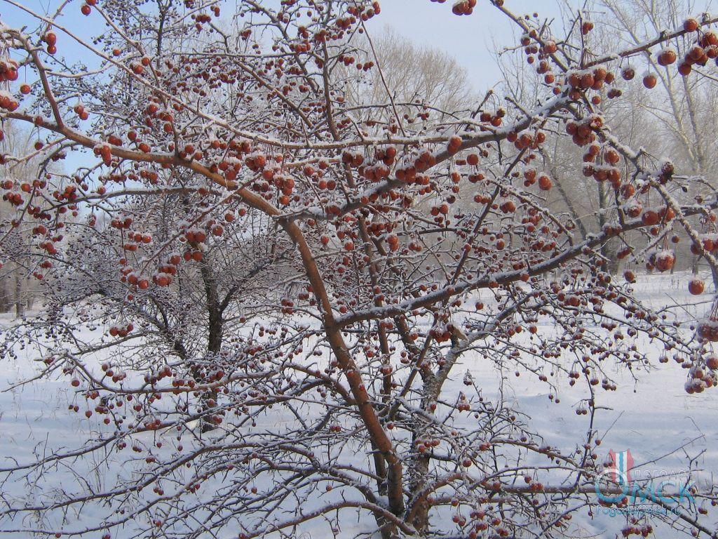 Яблоня ягодная зимой
