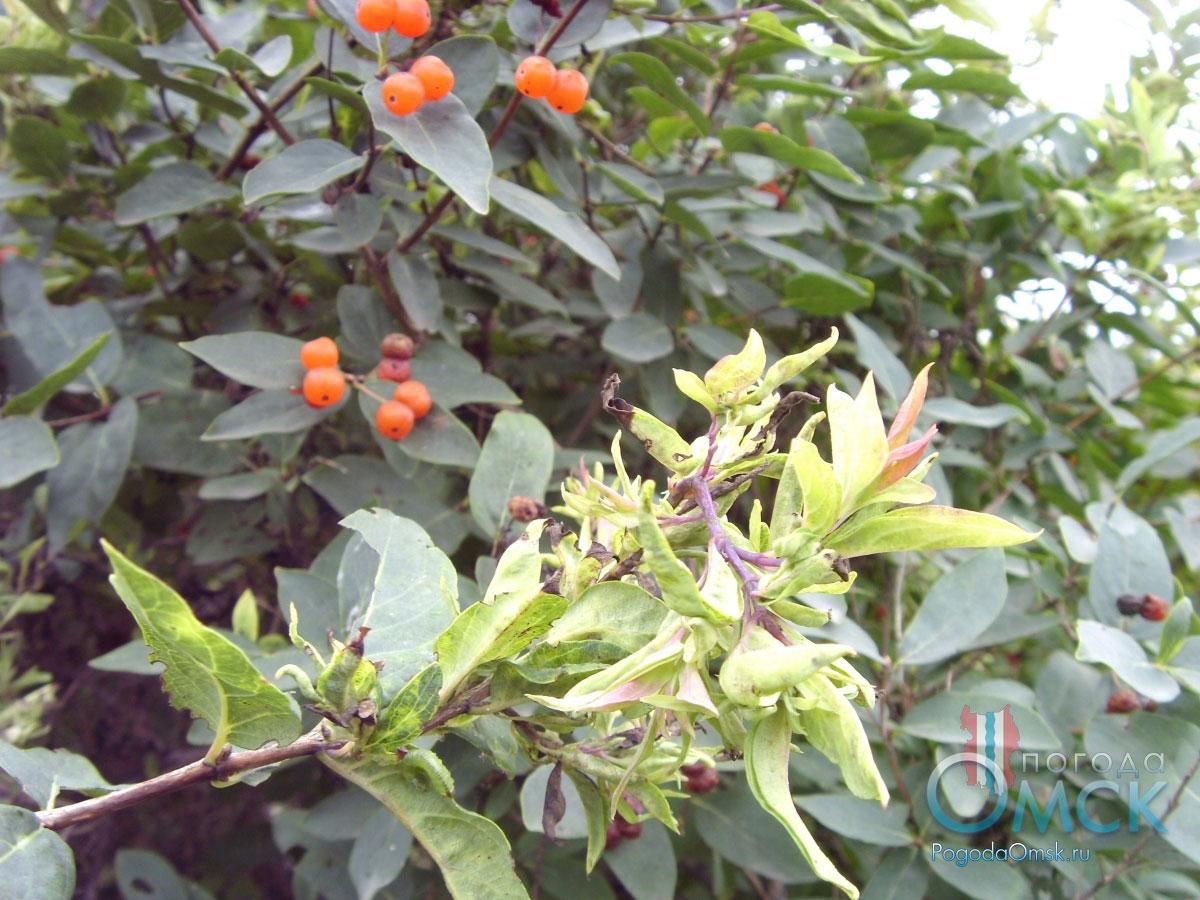 Листья жимолости татарской
