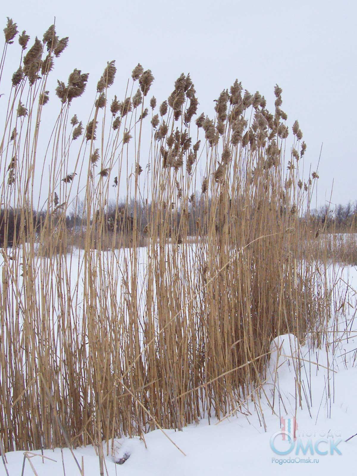 Тростник обыкновенный зимой