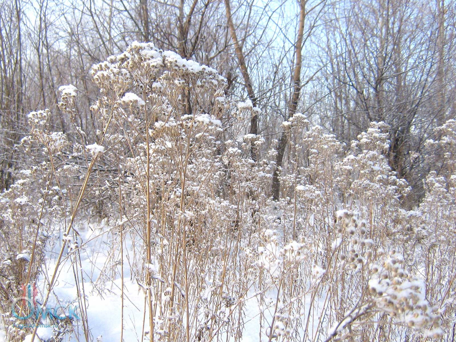 Тысячелистник иволистный зимой