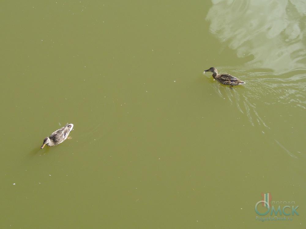 Речные утки